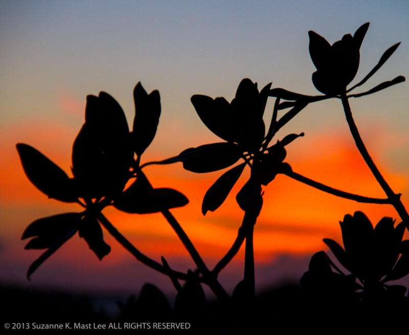 Mangrove leaves at sunset on Middle Torch Key, Fla.