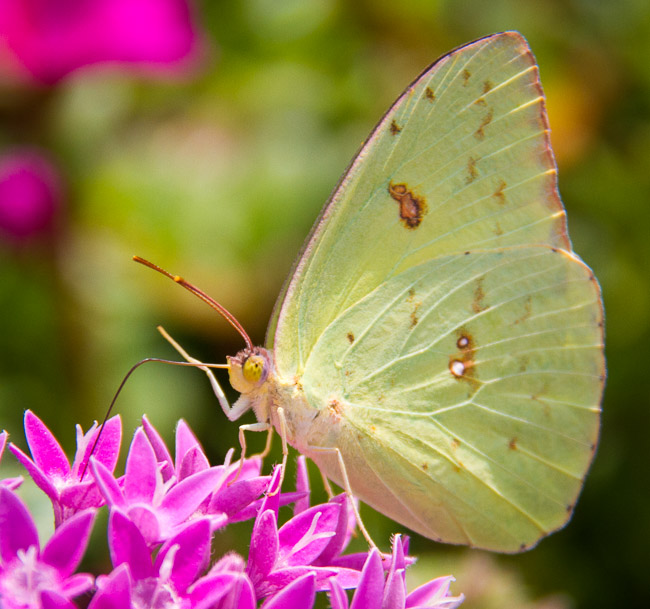 Cloudless Sulphur butterfly on a pink flower outside the Jekyll Island, Ga., visitors' center.