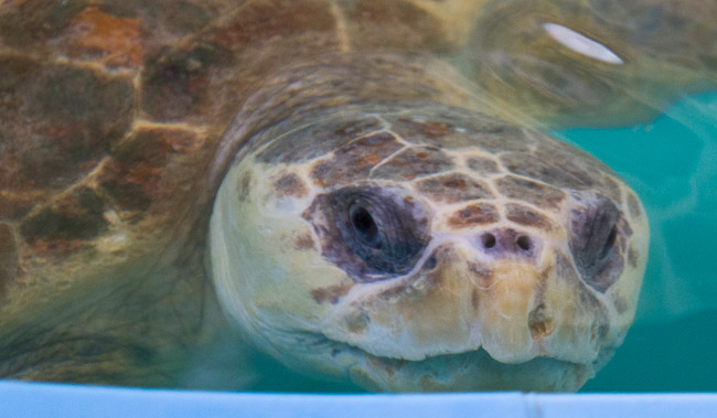 Loggerhead sea turtle rehabilitation