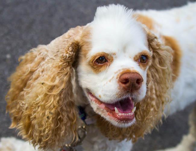 Pixel, dog, canine, pet, companion, cocker spaniel, parti-color