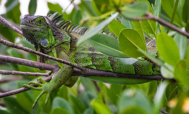 Iguana, tidal canal, invasive species