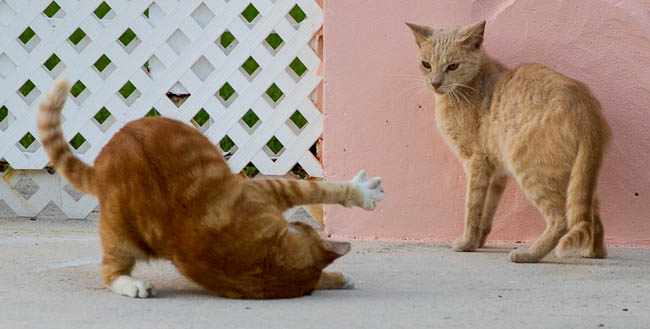feral, cats, dog walk, South Florida, Miami Beach, play, yellow cat,