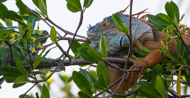 Iguana, dog walk, Mangrove tree, invasive species, face off, outdoor