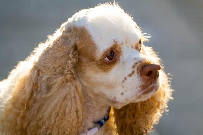 dog walk, Pixel, cocker spaniel, dog, canine, companion, back light, dog walk