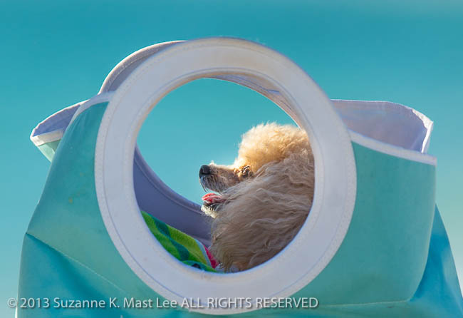 Atlantic Ocean, bag, beach, canine, dog, Florida < United States < North America, Haulover Beach, Miami Beach, North Miami Beach, Outdoor, pet, poodle, South Florida, Water