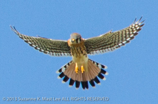 American Kestral, bird, Bird Of Prey, dog walk, Florida < United States < North America, flying, Miami Beach, nature, Outdoor, sky, South Florida, Surfside