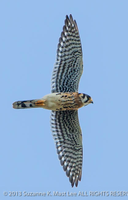 American Kestrel, bird, Bird Of Prey, dog walk, Florida < United States < North America, flying, Miami Beach, nature, Outdoor, sky, South Florida, Surfside