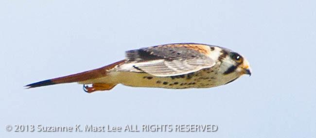 American Kestrel, bird, Bird Of Prey, dog walk, Florida < United States < North America, flying, Miami Beach, nature, Outdoor, sky, South Florida, Surfside