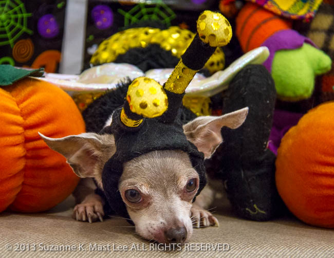 Spanky, Bayshore Veterinary Clinic, canine, Chihuahua, costume, dog, Florida < United States < North America, Halloween, HOLIDAY, North Miami Beach, pet