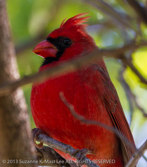 bird, cardinal, dog walk, Florida < United States < North America, Miami Beach, Outdoor, perch, Red, South Florida, Surfside, Tree