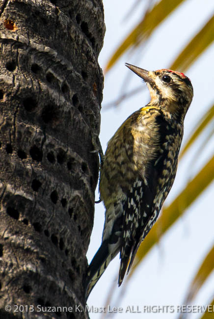 bird, dog walk, Florida < United States < North America, Miami Beach, nature, Outdoor, Palm Tree, South Florida, Surfside, Yellow-bellied Sapsucker
