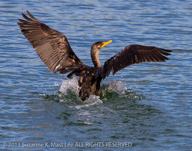 bird, Cormorant, dog walk, Florida < United States < North America, landing, Miami Beach, nature, Outdoor, South Florida, Surfside
