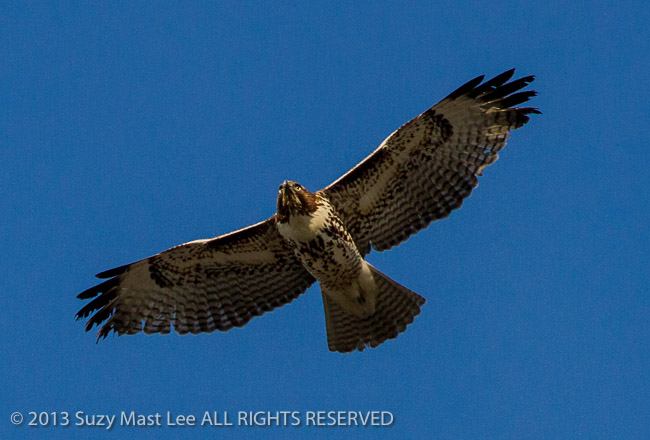 bird of prey, California, flying, red-tailed hawk, San Francisco, tourism, travel, USA, juvenile