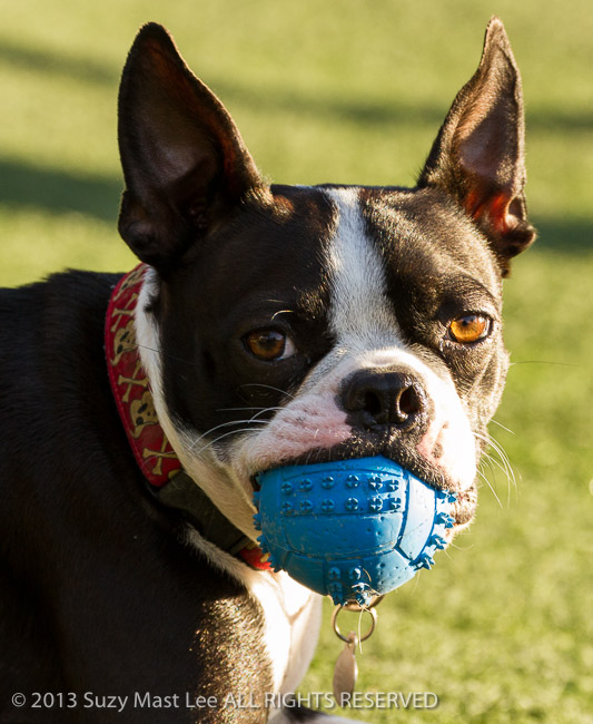 ball, California, canine, dog, dog park, fetch, pet, play, San Francisco, tourism, travel, USA