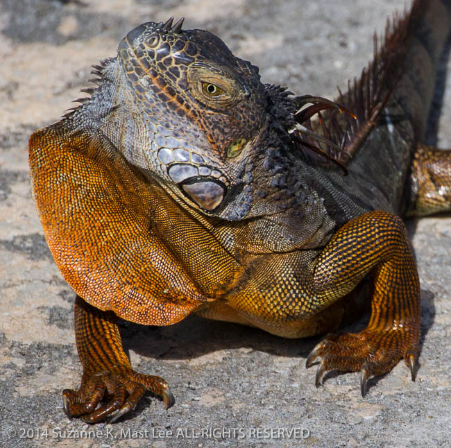 dog walk, Florida < United States < North America, Iguana, invasive species, Miami Beach, nature, Outdoor, South Florida, Surfside