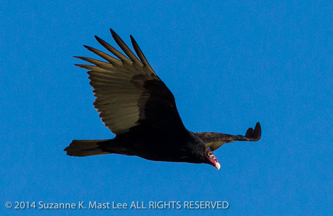 bird, dog walk, Florida < United States < North America, flying, Miami Beach, nature, Outdoor, South Florida, Surfside, Turkey Vulture, vulture