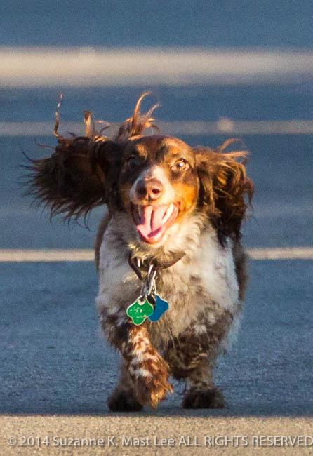 ball, canine, Coco, companion, Dachshund, dog, dog walk, fetch, Florida < United States < North America, Miami Beach, Outdoor, pet, play, South Florida, Surfside