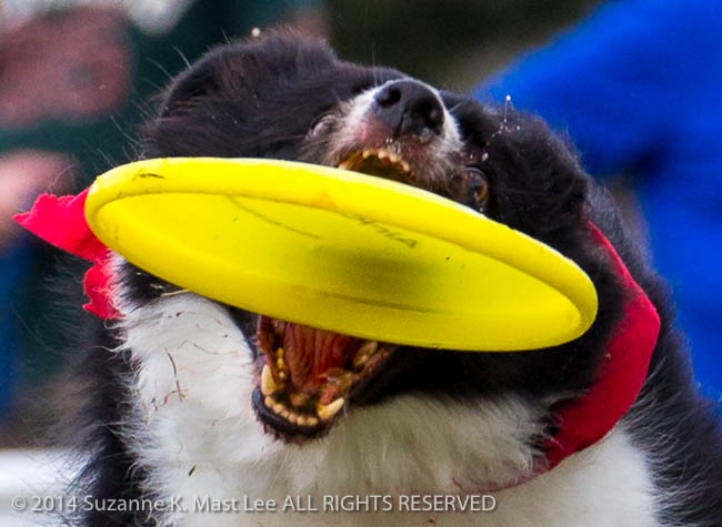 AirK9z.com, canine, catch, dog, event, Florida < United States < North America, frisbee, play, Sawgrass Sanctuary, sunrise, Woofstock
