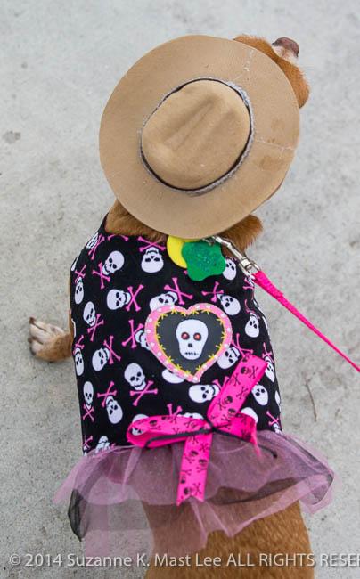 canine, Chihuahua, Costume contest, dog, event, Florida < United States < North America, pet, Rhinestone Cowgirl, Sawgrass Sanctuary, sunrise, Woofstock