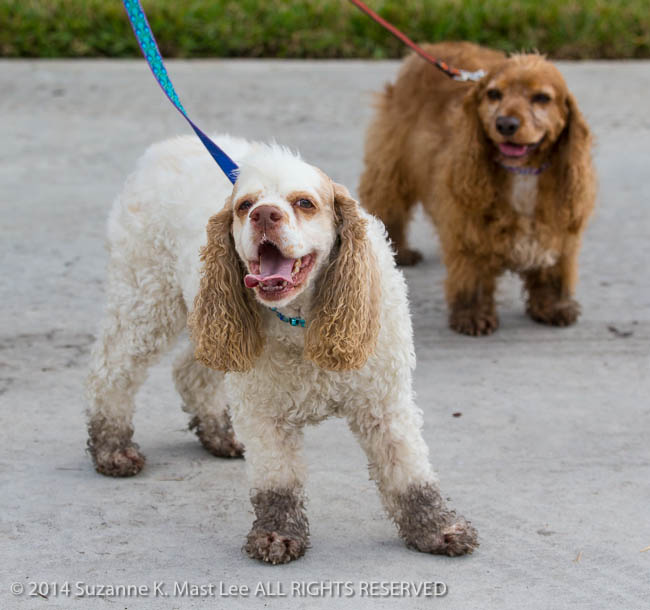 cocker spaniel, dog, event, Florida < United States < North America, mud, muddy paws, pet, Pixel, Sawgrass Sanctuary, sunrise, WeeGee, Woofstock