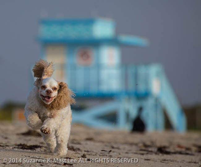 beach, blue sky, canine, cocker spaniel, dog, Florida < United States < North America, Haulover Beach, lifeguard stand, Miami Beach, Outdoor, pet, Pixel, play, red and white parti, run, sand, South Florida
