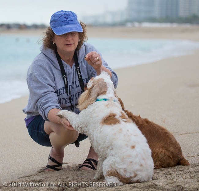 Atlantic Ocean, beach, canine, cocker spaniel, dog, Florida < United States < North America, give paw, Haulover Beach, Julie Andersen, Miami Beach, Outdoor, pet, Pixel, red and white parti, run, sand, shake, South Florida, touch, Water