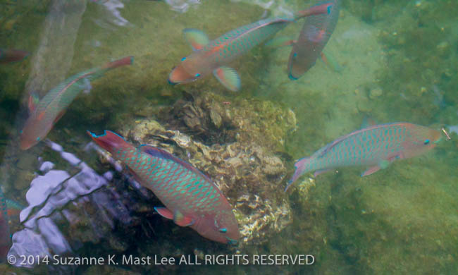dog walk, fish, Florida < United States < North America, Miami Beach, nature, Outdoor, parrot fish, South Florida, Surfside, tidal canal, Water