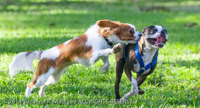 canine, Cavalier King Charles Spaniel, dog, Florida < United States < North America, French Bulldog, Haulover Beach, Haulover Beach Dog Park, Miami Beach, Outdoor, pet, South Florida