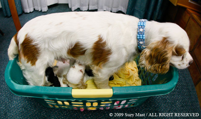 Georgi, milk bar, feeding, puppies, cocker spaniel,Pixel, red and white parti, cocker spaniel, puppy, dog, canine, pet, eyelashes, Rochester, Minnesota,