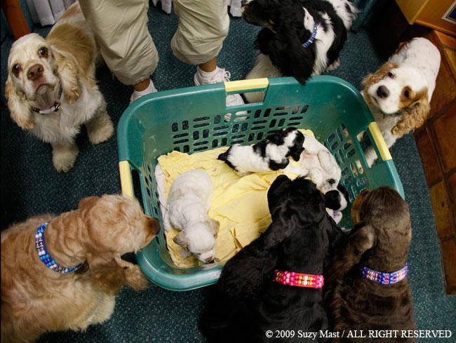 Georgi, puppies, cocker spaniel,Pixel, red and white parti, cocker spaniel, puppy, dog, canine, pet, eyelashes, Rochester, Minnesota,