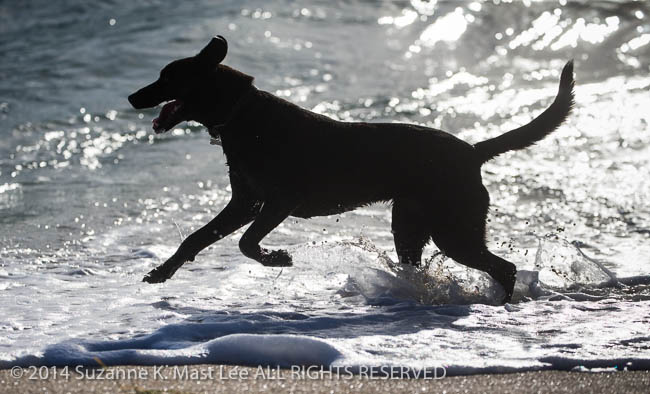 Atlantic Ocean, beach, canine, dog, Florida < United States < North America, Haulover Beach, Miami Beach, Outdoor, pet, play, run, sand, Silhouette, South Florida, surf, Water