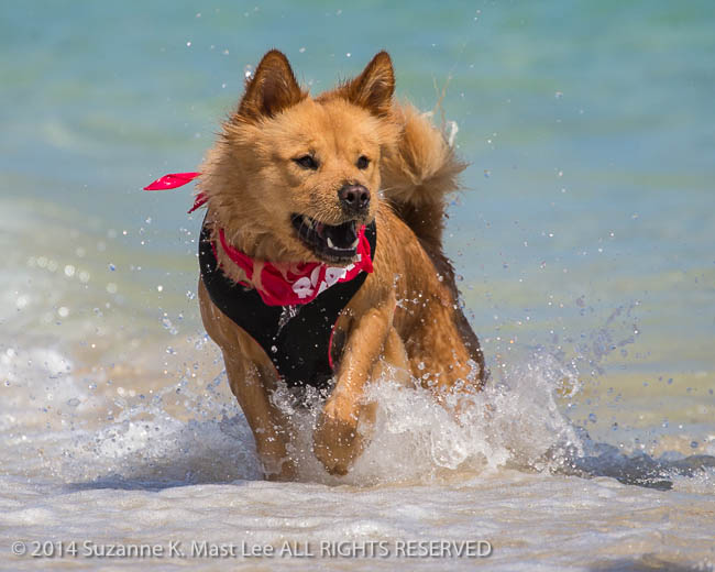 Atlantic Ocean, beach, canine, Chow, dog, Florida < United States < North America, Golden Retriever, Haulover Beach, Miami Beach, Outdoor, pet, play, run, sand, South Florida, Sugar, Water, wave