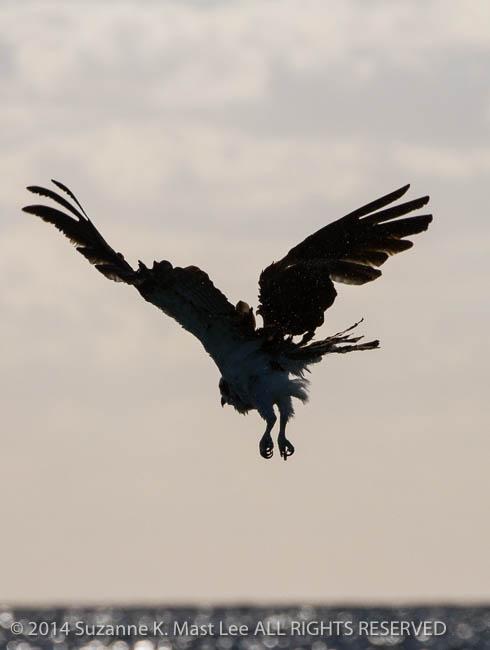 beach, bird, Bird Of Prey, blue sky, fishing, Florida < United States < North America, flying, Haulover Beach, hunting, Miami Beach, Osprey, Outdoor, South Florida