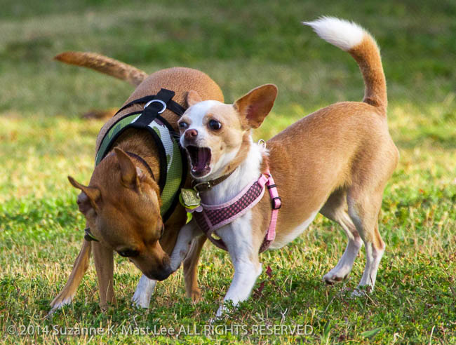 canine, Chihuahua, dog, dog park, Florida < United States < North America, Haulover Beach, Haulover Beach Dog Park, Miami Beach, Outdoor, Peaches, pet, play, South Florida, Vito