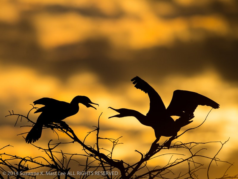 bird, Delray Beach, Double-crested Cormorant, Florida < United States < North America, nature, natz, orange, Outdoor, perch, Phalacrocorax auritus, portfolio, Silhouette, South Florida, sunrise, Wading And Water Birds, Wakodahatchee Wetlands, wildlife
