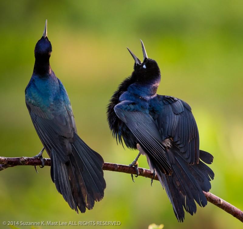 bird, Boat-tailed Grackle, Delray Beach, Florida < United States < North America, green background, nature, Outdoor, singing, South Florida, Wakodahatchee Wetlands, wildlife