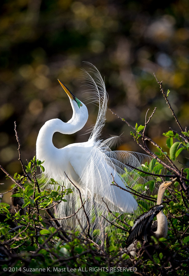 Ardea alba, bird, breeding plumage, Delray Beach, Florida < United States < North America, Great Egret, male, mating dance, nature, nuptial plumes, Outdoor, skying, South Florida, Wakodahatchee Wetlands, wildlife