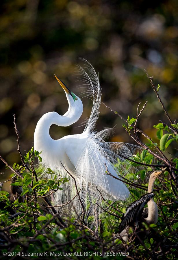 Ardea alba, bird, breeding plumage, Delray Beach, Florida < United States < North America, Great Egret, male, mating dance, nature, nuptial plumes, Outdoor, skying, South Florida, Wakodahatchee Wetlands, wildlife