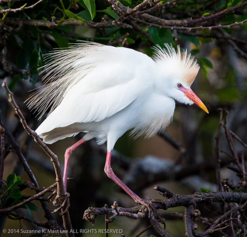bird, breeding plumage, Bubulcus ibis, Cattle Egret, Delray Beach, Florida < United States < North America, mangrove, nature, Outdoor, South Florida, Wakodahatchee Wetlands, wildlife