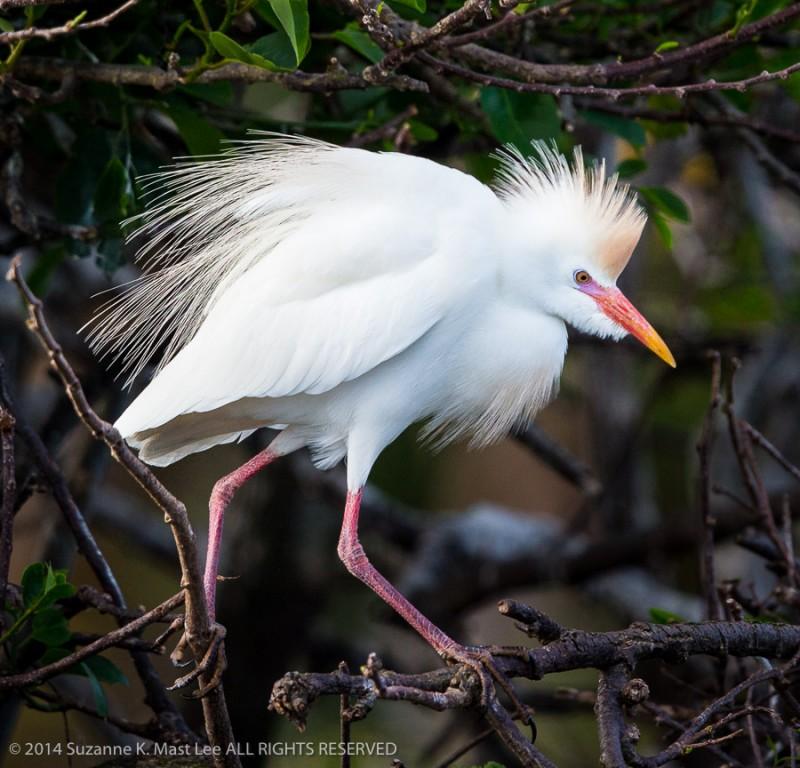 bird, breeding plumage, Bubulcus ibis, Cattle Egret, Delray Beach, Florida < United States < North America, mangrove, nature, Outdoor, South Florida, Wakodahatchee Wetlands, wildlife