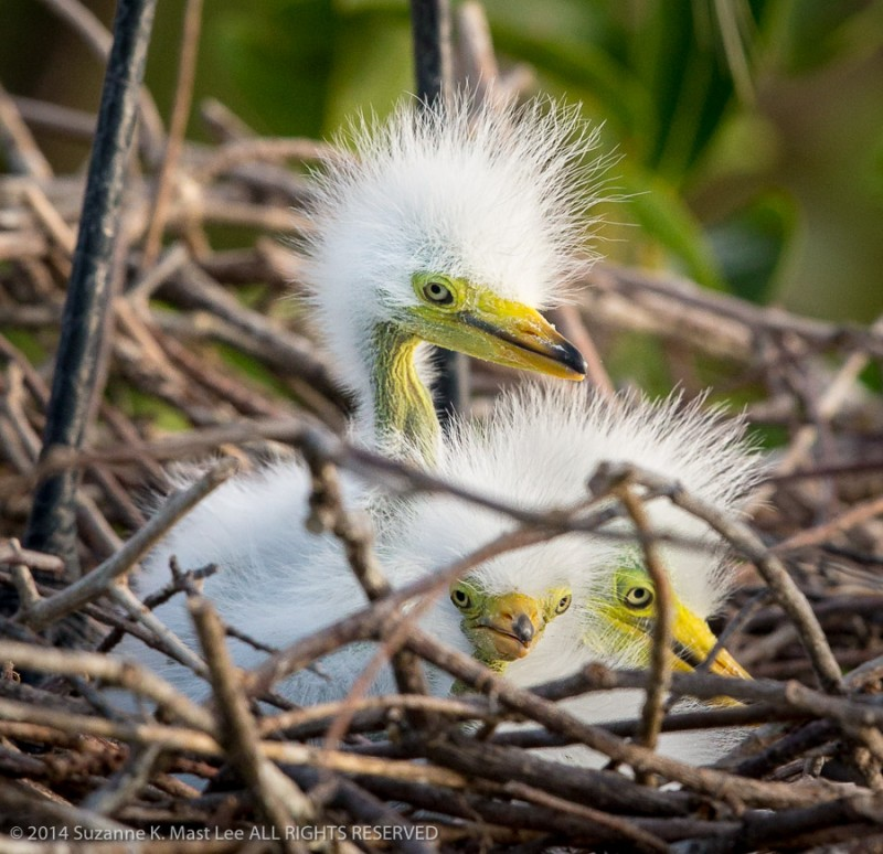 Ardea alba, babies, bird, breeding plummage, Delray Beach, female, Florida < United States < North America, Great Egret, Hatchling, juvenile, nature, nest, nuptial plumes, Outdoor, South Florida, Wakodahatchee Wetlands, wildlife