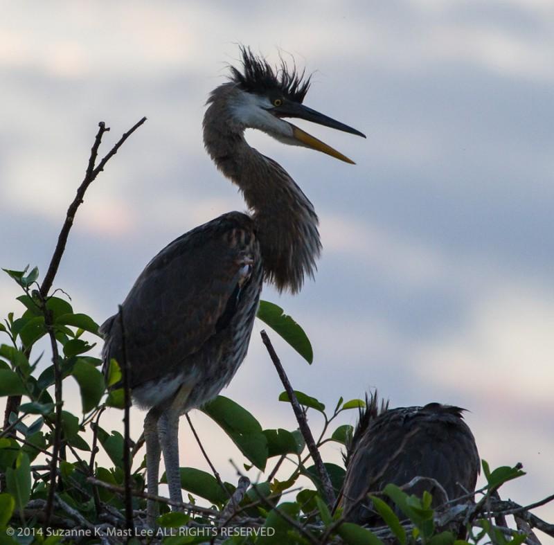 Ardea herodias, bird, Delray Beach, Florida < United States < North America, Great Blue Heron, juvenile, nature, Outdoor, South Florida, Wakodahatchee Wetlands, wildlife