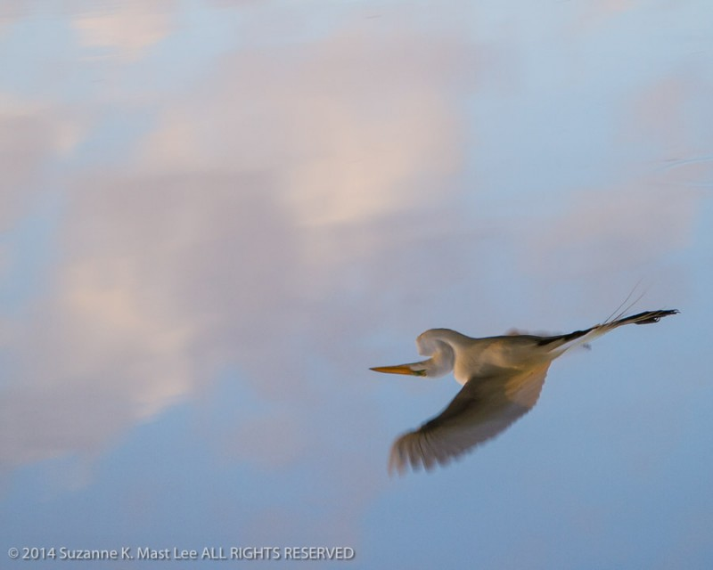 Ardea alba, blue sky, breeding plumage, Clouds, Delray Beach, Florida < United States < North America, Great Egret, nature, Outdoor, Reflection, South Florida, sunrise, Wakodahatchee Wetlands, Water, wildlife