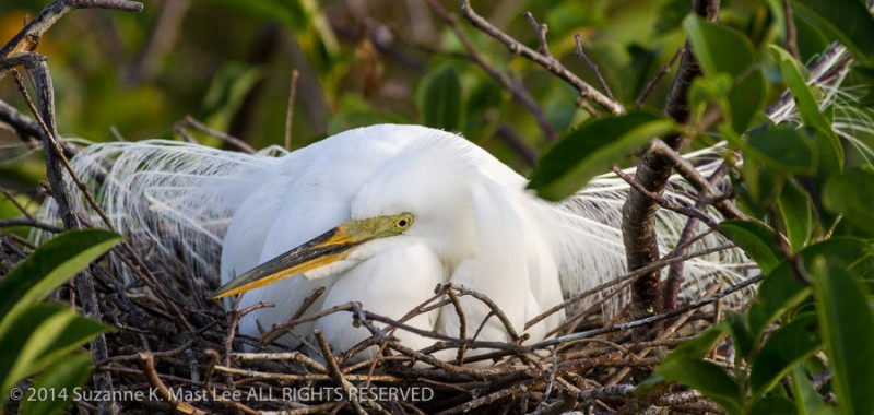 Ardea alba, breeding plumage, Delray Beach, female, Florida < United States < North America, Great Egret, nature, nest, nuptial plumes, Outdoor, South Florida, Wakodahatchee Wetlands, wildlife