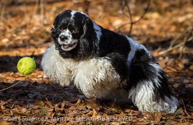 Alabama, Black & White, canine, cocker spaniel, dog, fetch, Julia, Maylene, Outdoor, parti-color, pet, play, tennis ball