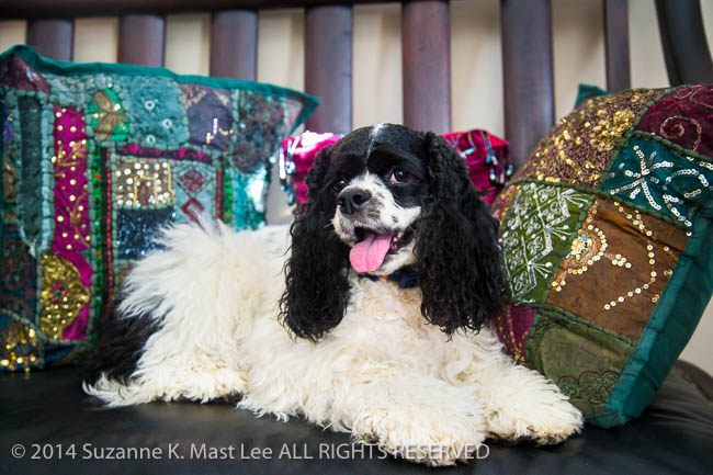 Alabama, Black & White, canine, chair, cocker spaniel, dog, Joy Gipson Bagby, Julia, Maylene, parti-color, pet, pillow, Portrait