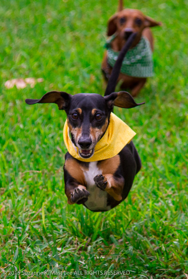 ACTION, canine, Dachshund, Dachshund Winterfest, dog, Florida < United States < North America, Hot Dog Hustle, leap, Miami Beach, Outdoor, pet, race, run, South Beach, South Florida, Sparky