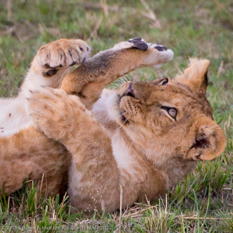 Africa, travel, tourism, ecotourism, lion, cub, safari, Masai Mara, Kenya