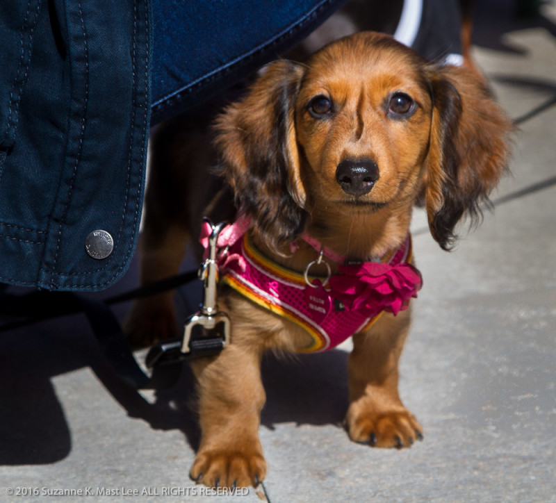 puppy, canine, Dachshund, Dachshund Winterfest, dog, Florida < United States < North America, Miami Beach, Oliver, Outdoor, pet, South Beach, South Florida